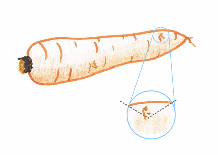 Hand drawing of a carrot showing a close up of a small blemish and cutting guidelines