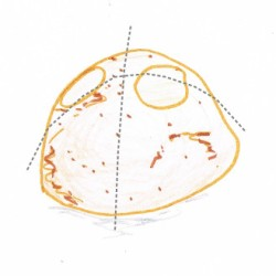 Hand drawing of a halved potato with cutting guidelines (grey dotted lines)