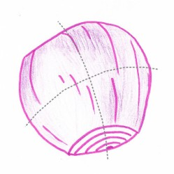 Hand drawing of a red onion showing cutting guidelines (grey dotted lines)