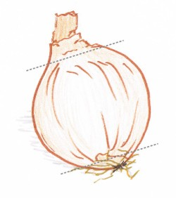 Hand drawing of a brown onion showing cutting guidelines (grey dotted lines)