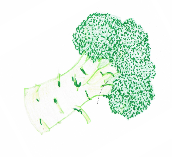 Hand drawing of a broccoli showing cutting guidelines (grey dotted lines)