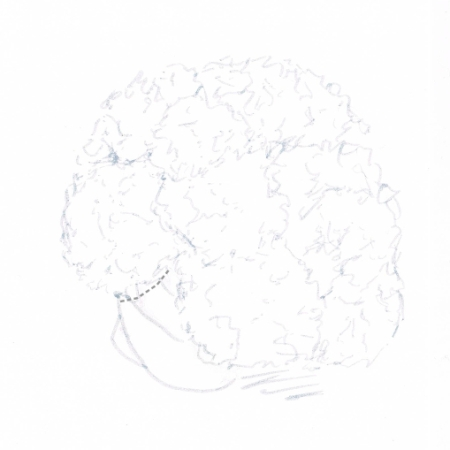 Hand drawing of a head of cauliflower with cutting guideline (grey dotted line)