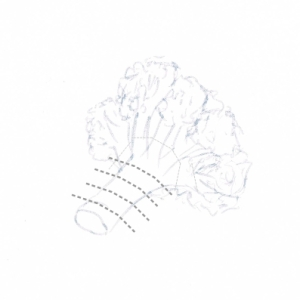 Hand drawing of a cauliflower floret with cutting guidelines (grey dotted lines)