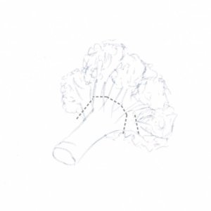 Hand drawing of a cauliflower floret with cutting guidelines (grey dotted line)
