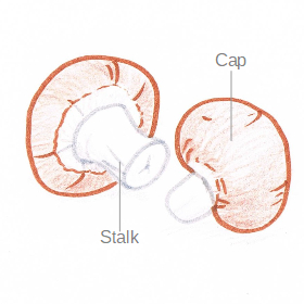 Hand drawing of a pair of chestnut mushrooms, with the stalk and cap labelled