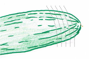 Hand drawing of a dark green cucumber with cutting guidelines (grey dotted lines)