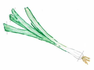 Hand drawing of a spring onion with cutting guidelines (grey dotted lines)