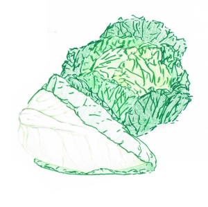Hand drawing of two green cabbages - a savoy and a sweetheart