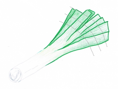 Hand drawing of a trimmed green and white leek with cutting guidelines (grey dotted lines)
