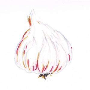 Hand drawing of a bulb of garlic