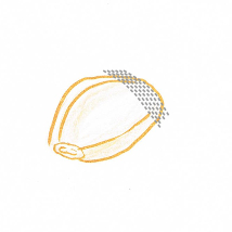 Hand drawing of a peeled clove of garlic with cutting guidelines (grey dotted lines)